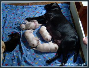 małe labradorki w wieku 2 tygodni